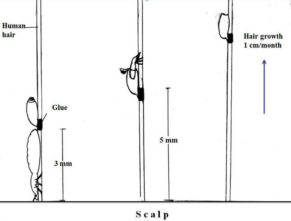 Fig.5. Mumcuoglu